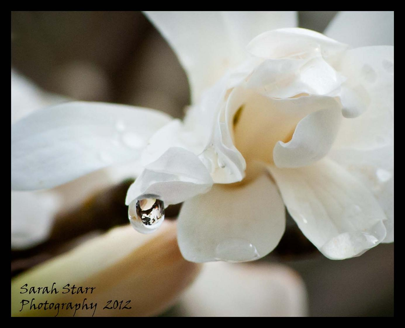 Water Drop on Magnolia