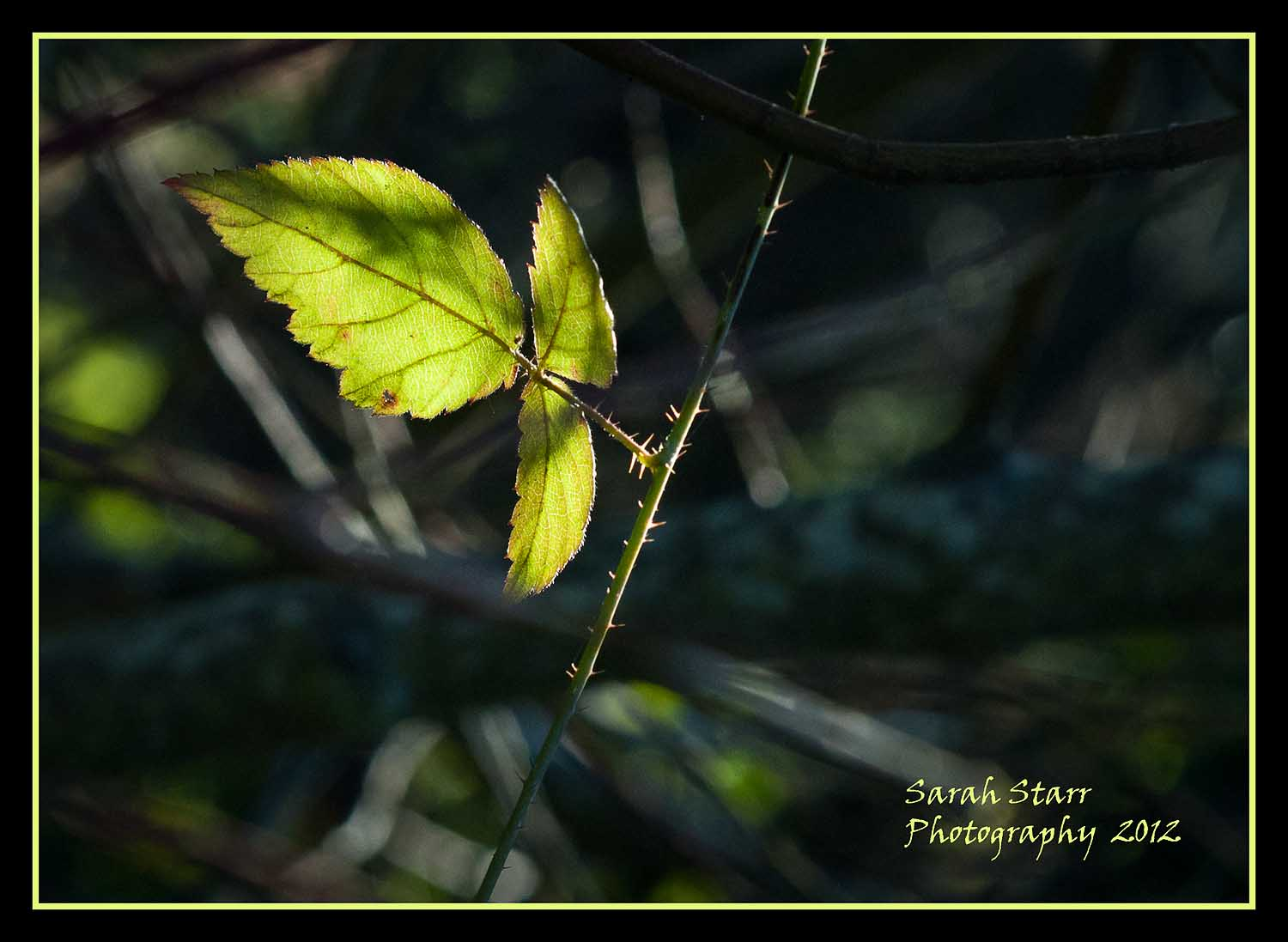 Grape Leaf in the Sun